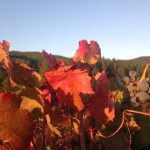 Carmenere odmiana, wino, łączenie z jedzeniem