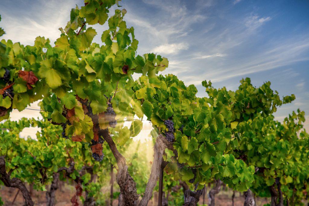 winogrona na AIX